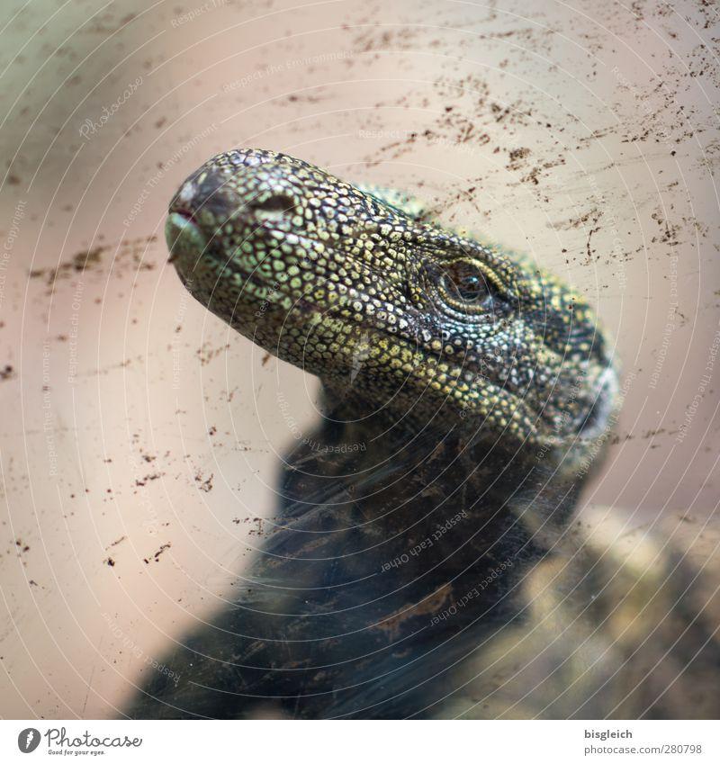 auf der anderen Seite der Scheibe II Tiergesicht Schuppen Aquarium Echsen Echsenauge Warane 1 schaukeln braun grün Neugier Farbfoto Innenaufnahme Menschenleer