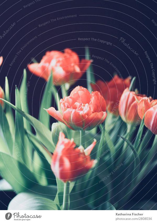 Blumenstrauß rot orange Tulpen Kunst Natur Pflanze Frühling Sommer Herbst Winter Blatt Blüte Blühend leuchten schön grün türkis Frühlingsgefühle Vorfreude Farbe