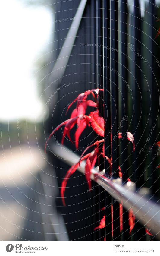rauskucken . . . Garten Zaun Umwelt Natur Pflanze Sonne Sonnenlicht Herbst Schönes Wetter Sträucher Blatt Grünpflanze Metall leuchten Wachstum rot schwarz weiß