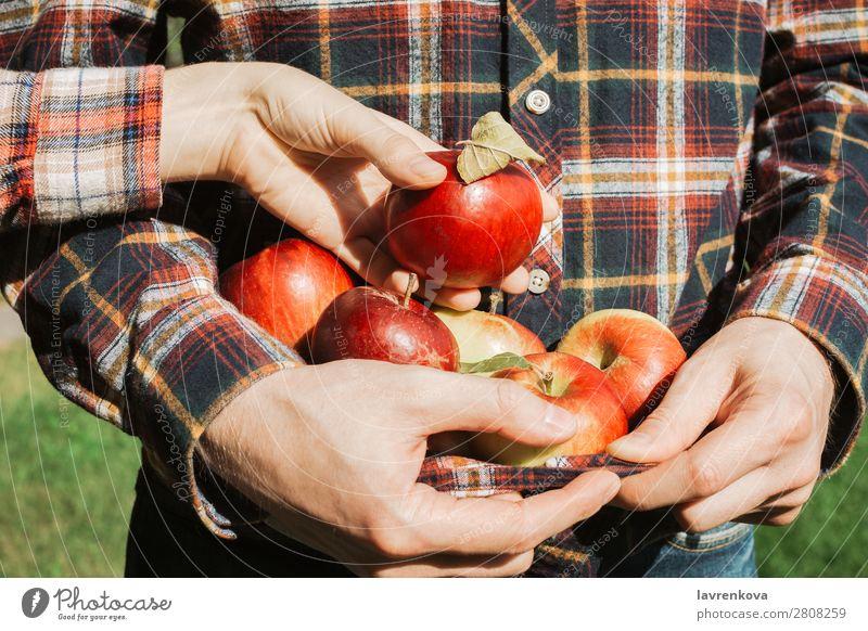 Mann hält reife rote Äpfel in seinem karierten Hemd. pflücken Zusammensein Partnerschaft Paar Ernte Herbst Landwirt organisch Frucht Apfel Finger Frau frisch