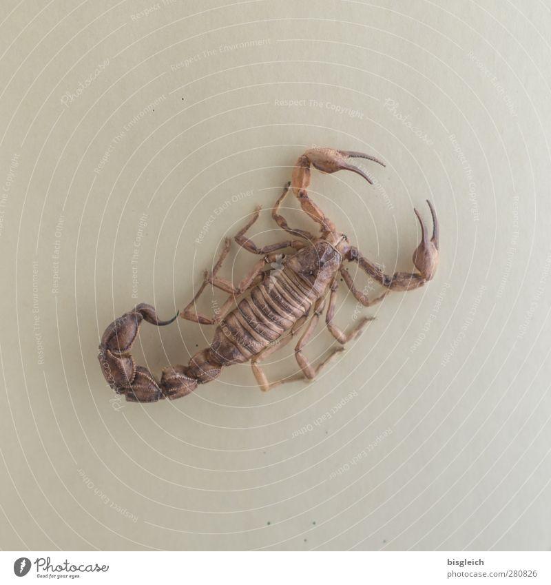 Skorpion 1 Tier braun Gift Beine Schere Stachel Farbfoto Gedeckte Farben Innenaufnahme Menschenleer Hintergrund neutral Kunstlicht