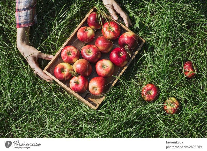 Frauenhände halten eine Holzkiste mit roten Äpfeln. Bauernhof Apfel Kasten Halt Hand kariert Herbst Sonne Pflanze Ernte frisch saftig organisch Landwirtschaft