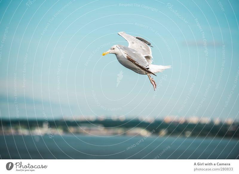 voll Bremsung Tier Wildtier Vogel 1 Bewegung frei frisch blau Möwe Meer Küste Schweben Fliege Farbfoto Außenaufnahme Menschenleer Textfreiraum links
