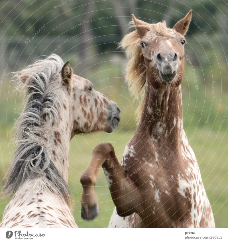 Knabstrupper Natur Tier Umwelt grau springen Kopf braun Pferd Nutztier Mähne