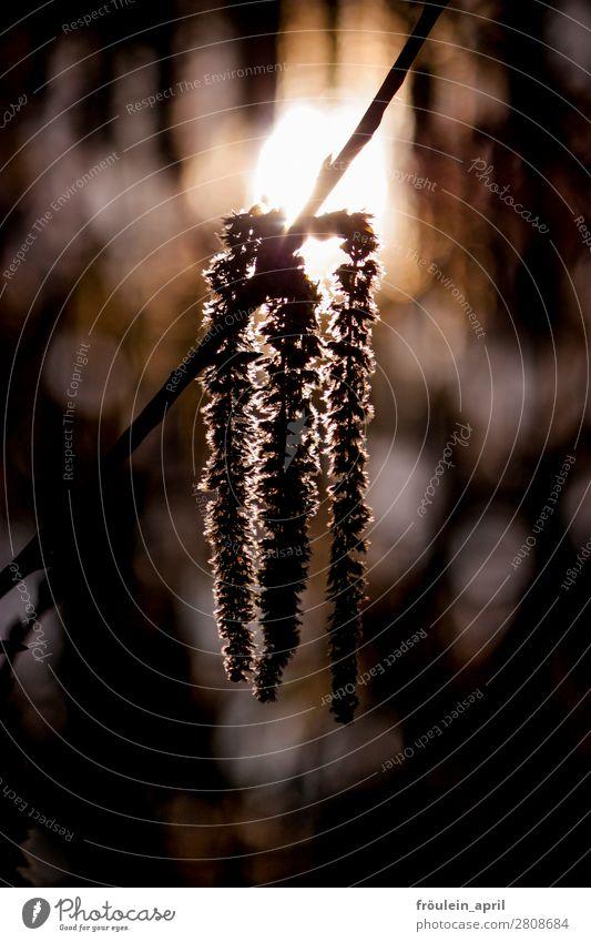Drillinge Natur Pflanze Frühling Baum Blüte natürlich braun Hochformat Allergie Pollen Birke Blütenkette Farbfoto Außenaufnahme Morgen Gegenlicht