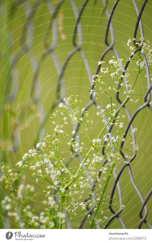 Geschlingel Natur grün Sommer Pflanze Blume Umwelt Gras Blüte natürlich wild authentisch frisch einfach trocken dünn Zaun