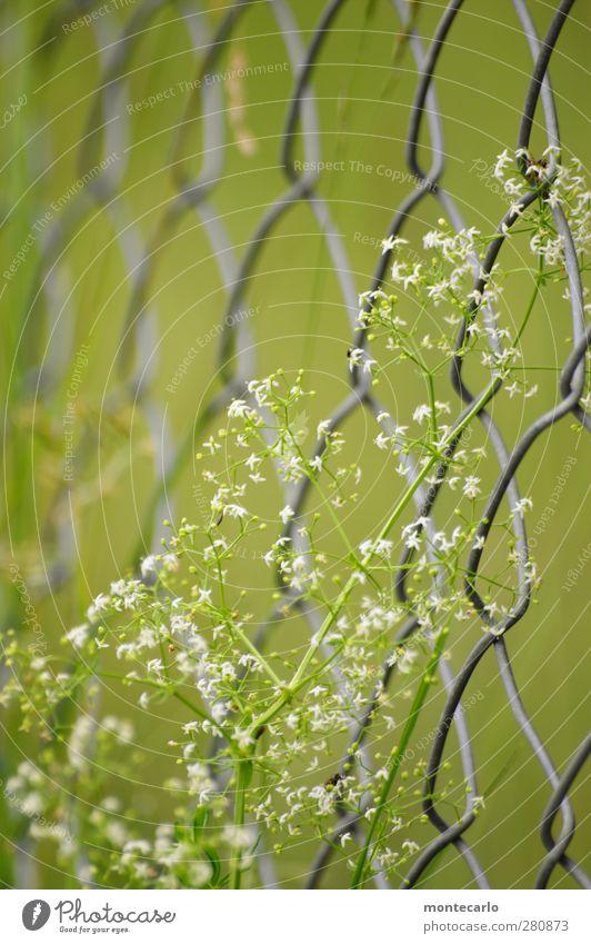 Geschlingel Umwelt Natur Pflanze Sommer Blume Gras Blüte Grünpflanze Wildpflanze Zaun dünn authentisch einfach frisch natürlich trocken wild grün Farbfoto