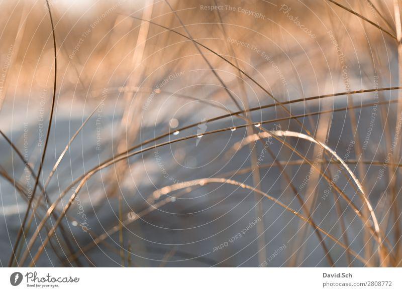 Dünengras mit Wassertropfen Umwelt Natur Landschaft Pflanze Schönes Wetter Küste Ostsee nass schön Wärme orange ruhig Farbfoto Außenaufnahme Menschenleer Morgen