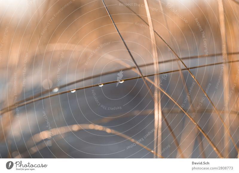Dünengras mit Wassertropfen Umwelt Natur Landschaft Pflanze Schönes Wetter Küste Ostsee orange ruhig nass schön Wärme Farbfoto Außenaufnahme Menschenleer Morgen