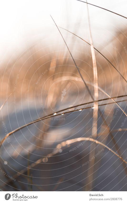Dünengras mit Wassertropfen Umwelt Natur Landschaft Pflanze Schönes Wetter Küste Ostsee orange nass schön Wärme ruhig Farbfoto Außenaufnahme Menschenleer Morgen