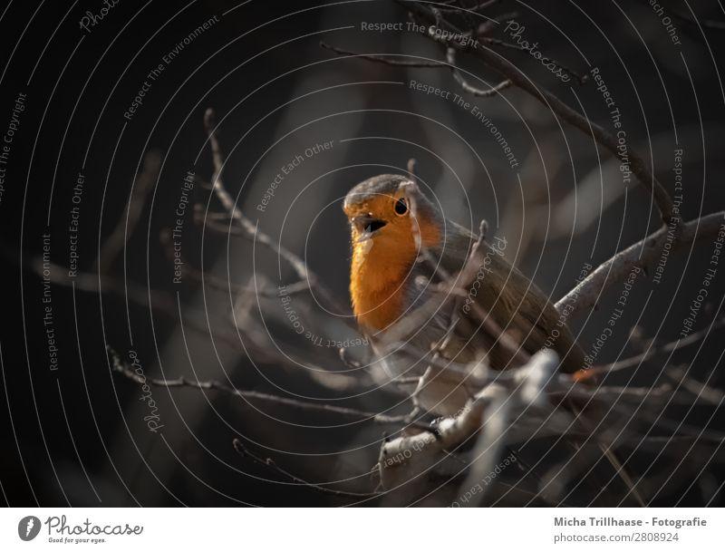 Singendes Rotkehlchen Natur Tier Sonnenlicht Schönes Wetter Baum Zweige u. Äste Wildtier Vogel Tiergesicht Flügel Schnabel Auge Feder 1 beobachten leuchten