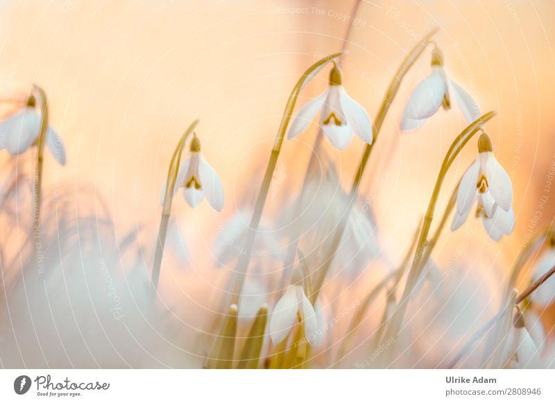 Schneeglöckchen ( Galanthus ) Natur Pflanze weiß Blume Erholung ruhig Winter Leben Blüte Frühling Feste & Feiern Garten orange Zufriedenheit