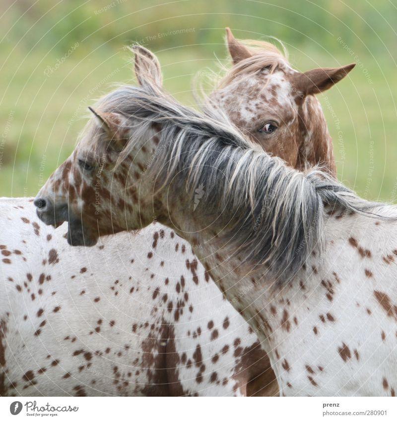 Knabstrupper II Natur Tier Umwelt Kopf Pferd Nutztier Mähne Schecke