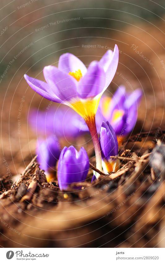 frühling III Pflanze Frühling Schönes Wetter Blume Blüte Garten Blühend schön natürlich violett Natur Krokusse Farbfoto mehrfarbig Außenaufnahme Nahaufnahme