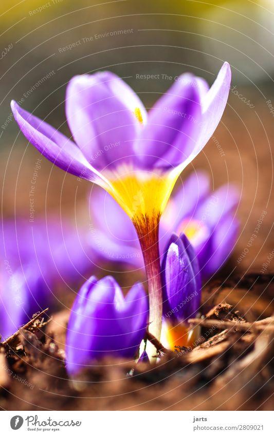frühling II Pflanze Frühling schlechtes Wetter Blume Blüte Garten Park Blühend frisch natürlich neu violett Frühlingsgefühle Natur Krokusse Farbfoto