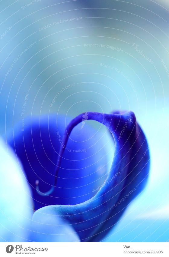 bleu[4] Natur Pflanze Blume Orchidee Blüte exotisch Stempel frisch blau Farbfoto mehrfarbig Außenaufnahme Detailaufnahme Makroaufnahme Menschenleer