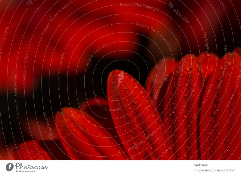Gerbera mit Wassertropfen Lifestyle elegant Stil Valentinstag Muttertag Geburtstag Natur Frühling Pflanze Blume Blatt Blüte Korbblütengewächs Blütenpflanze