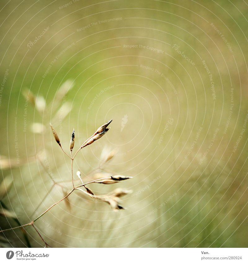 Krabbelgras Natur Pflanze Sommer Gras Gräserblüte Halm Wiese hell gelb grün Farbfoto Gedeckte Farben Außenaufnahme Textfreiraum rechts Tag Kontrast