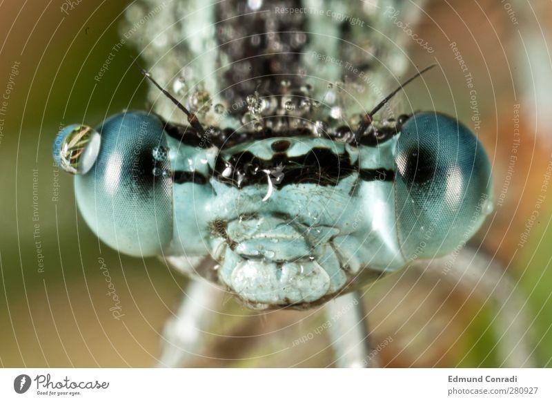 Portrait Blaue Federlibelle Natur Wiese Seeufer Wildtier Libelle Mosaikjungfer 1 Tier Tropfen Facettenauge Lächeln blau Stimmung einzigartig Makroaufnahme