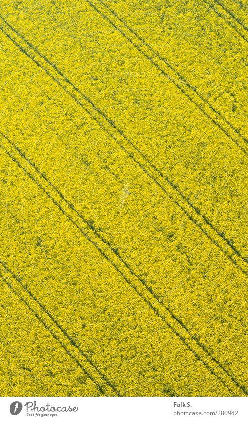 Präzision Pflanze Einsamkeit gelb Umwelt Wärme Frühling Wege & Pfade Blüte Linie Feld natürlich groß ästhetisch Warmherzigkeit Schönes Wetter einfach