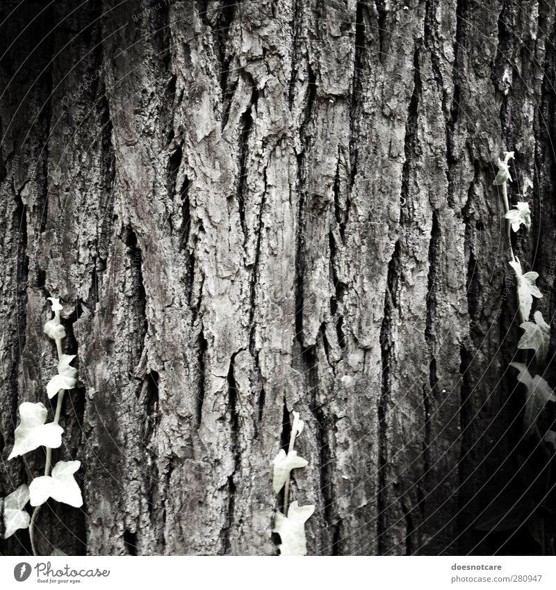 Baumrinde Natur Pflanze alt Schwarzweißfoto Baumstamm Senior Hautfalten Efeu Ranke Vignettierung Strukturen & Formen Wachstum Leben Lebensalter Außenaufnahme