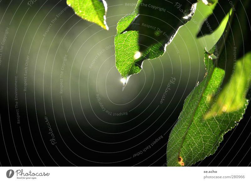 Nach dem Regen Natur Pflanze Wassertropfen Sonne Sonnenlicht Sommer Schönes Wetter Apfelbaum Apfelbaumblatt Garten Park Optimismus schön friedlich achtsam