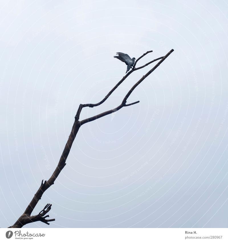 Landung Himmel schlechtes Wetter Tier Vogel Taube 1 fliegen hoch natürlich oben grau Beginn Bewegung Ast Zweige u. Äste kommen Gedeckte Farben Außenaufnahme