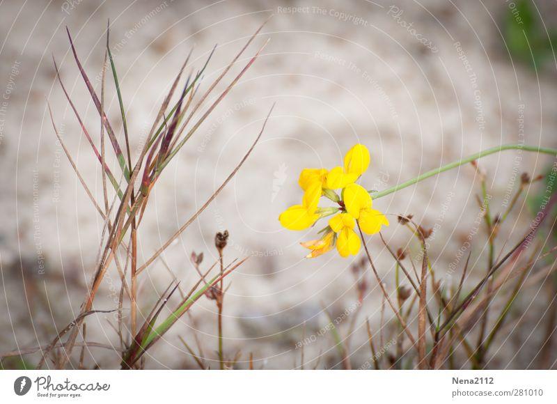 Yellow Natur Pflanze Blume Strand gelb Umwelt Küste Blüte Sand Erde Sträucher Seeufer Flussufer Wildpflanze