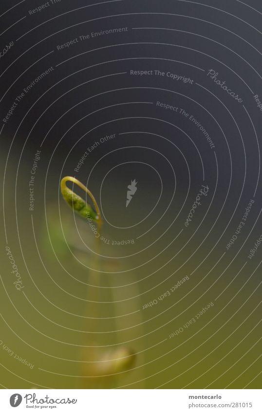 NaturÖse Umwelt Pflanze Moos Blüte Grünpflanze Wildpflanze ästhetisch dünn authentisch einfach hoch einzigartig natürlich wild weich grün Farbfoto mehrfarbig