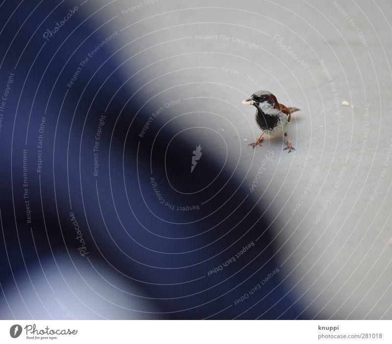 captain sparrow Sonnenlicht Sommer Schönes Wetter Tier Wildtier Vogel Flügel 1 Tierjunges beobachten Essen warten Spatz Singvögel Lebewesen blau schwarz braun