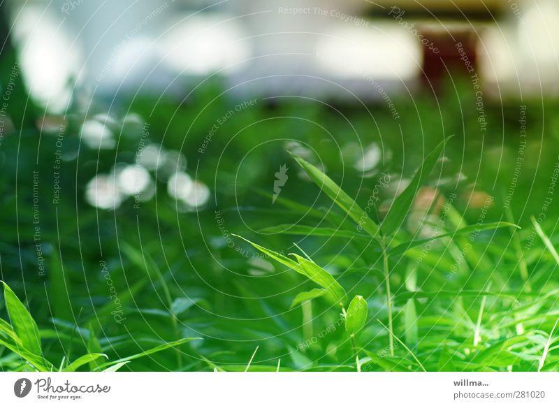 Bambusblätter Pflanze Bambushalm grün Bodendecker Süßgras üppig (Wuchs) Reflexion & Spiegelung Blattgrün grünen Grünfläche Natur