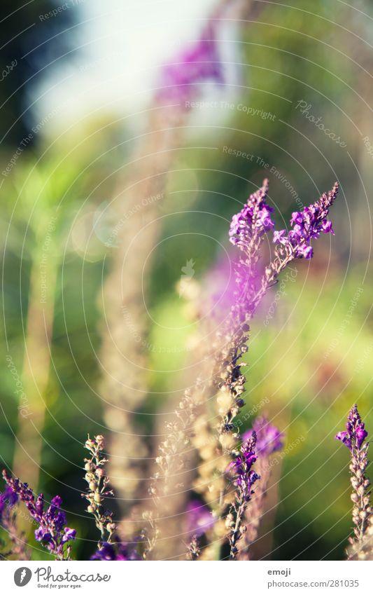 Sommer ade Natur Pflanze Blume Umwelt natürlich Sträucher Schönes Wetter violett Duft