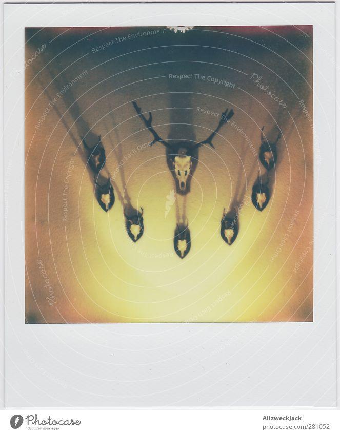 Der Hirsch und seine Gang Tod Wildtier ästhetisch Jagd Sammlung Horn Tradition Hirsche Trophäe Bleßwild Wanddekoration Wandschmuck Hirschkopf