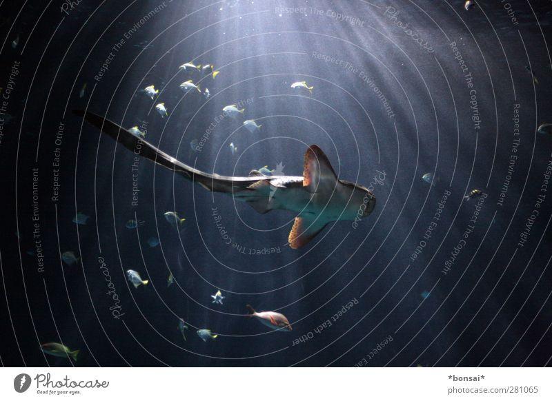 schweben Natur blau Wasser Meer Tier ruhig dunkel kalt Bewegung Schwimmen & Baden natürlich Kraft groß elegant ästhetisch Tiergruppe