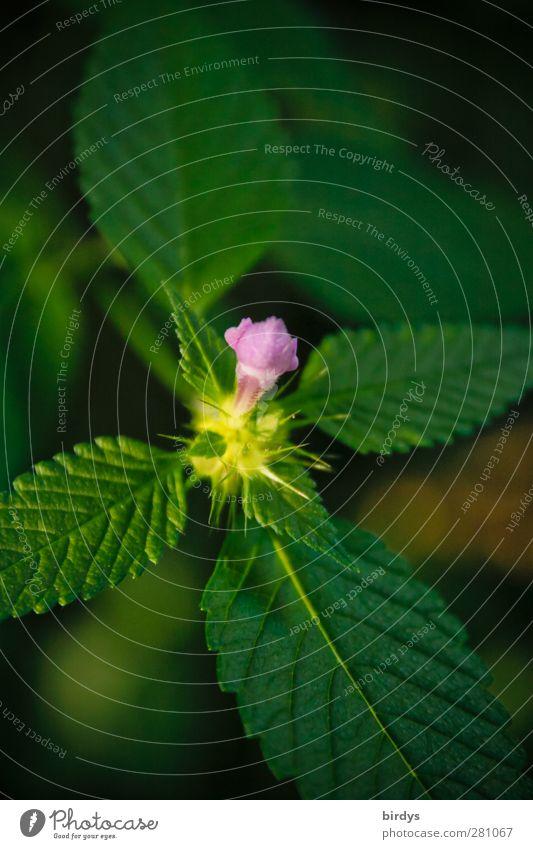 klein aber fein Natur grün schön Sommer Pflanze Blatt Blüte natürlich ästhetisch leuchten Stern (Symbol) Freundlichkeit violett Blühend Duft positiv