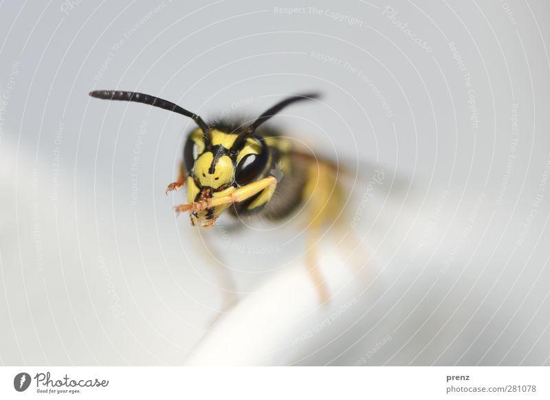 Vespula Natur Tier Umwelt gelb grau Kopf Wildtier Insekt Fühler Wespen Facettenauge