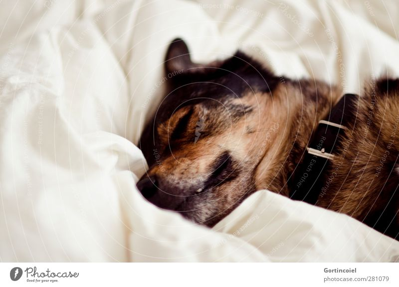 Quietscho Tier Haustier Hund Tiergesicht Fell 1 schlafen braun weiß Wolf Mischling Müdigkeit faulenzen Bettwäsche Bettlaken Hundehalsband Schnauze Farbfoto