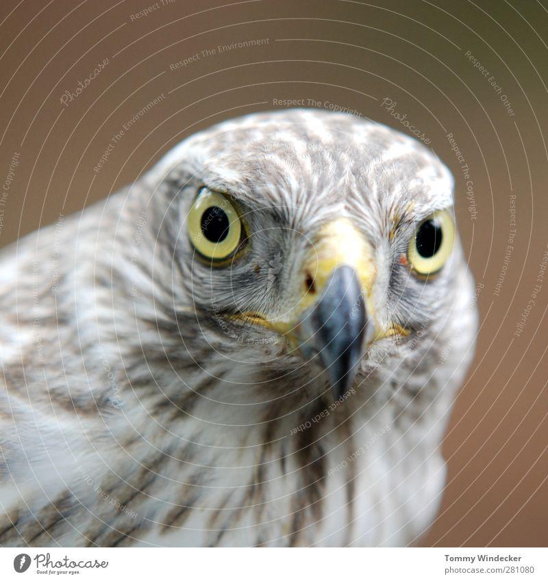 Accipiter gentilis Biologie Naturwissenschaft Tier Wildtier Vogel Tiergesicht 1 Blick Kraft Wachsamkeit Umweltschutz Habichte Greifvogel Feder Schnabel