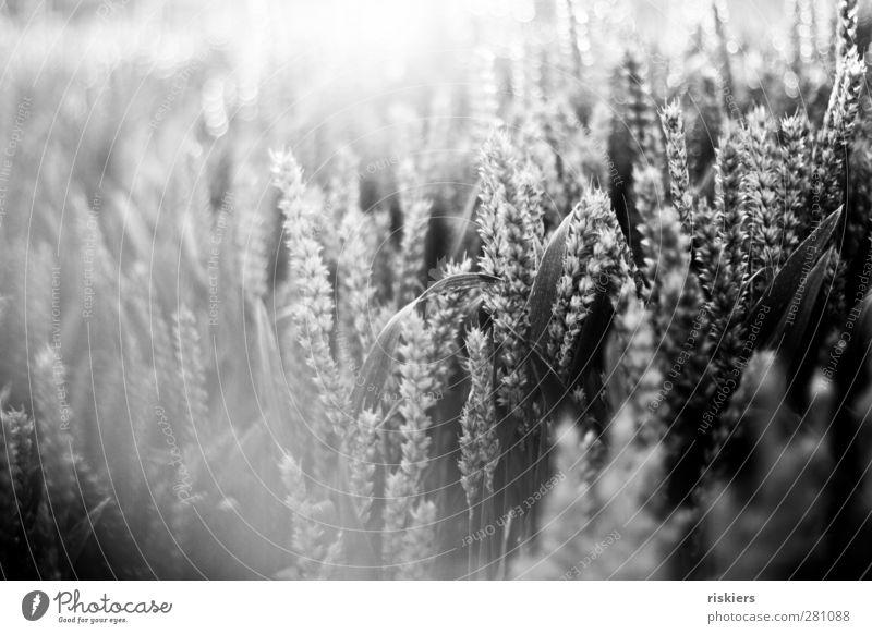 glow Umwelt Natur Landschaft Sommer Schönes Wetter Nutzpflanze Feld Idylle Getreide Getreidefeld Schwarzweißfoto Außenaufnahme Menschenleer Abend Licht Schatten