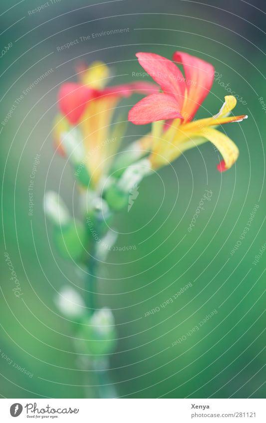 Rot Gelb Grün Pflanze Blume Orchidee exotisch feminin gelb grün rot schön Farbe zart Außenaufnahme Detailaufnahme Makroaufnahme Menschenleer Textfreiraum unten