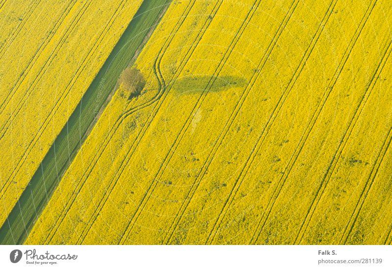 Abweichung Landwirtschaft Forstwirtschaft Umwelt Pflanze Frühling Schönes Wetter Baum Gras Nutzpflanze Raps Feld Linie Bogen ästhetisch Unendlichkeit Wärme gelb