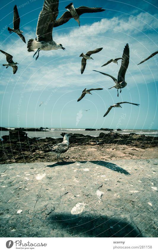 Die Möwen Himmel blau Sommer Meer Tier Wolken schwarz Umwelt Küste Freiheit grau Luft Vogel Wellen fliegen Wildtier