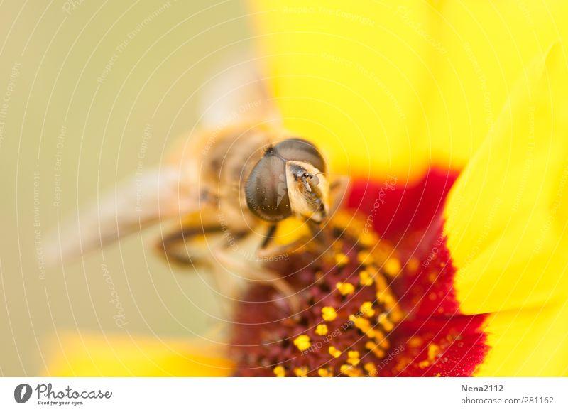 noch ist es sommer :) Umwelt Natur Pflanze Tier Sommer Schönes Wetter Blume Blüte Wiese Fliege Biene Flügel 1 gelb rot Insekt Insektenschutz Auge Augenfarbe