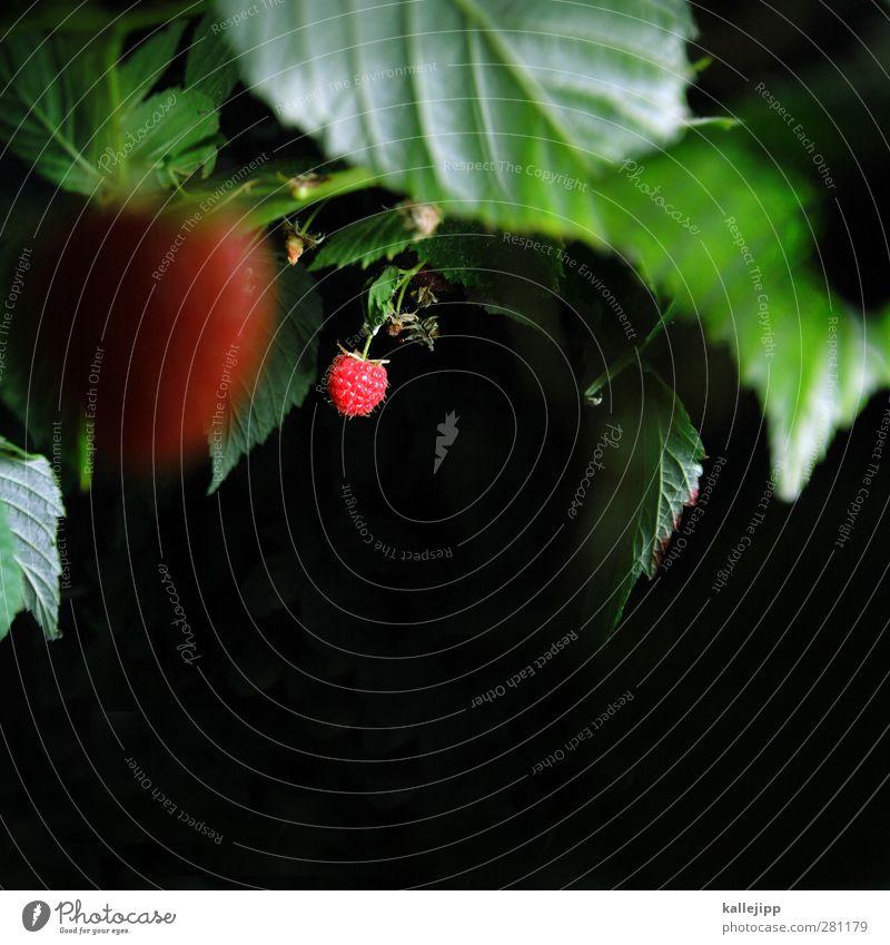 marmelade oder konfitüre? Natur grün Sommer Pflanze rot Tier Blatt Wald Umwelt Garten Feld Frucht Lebensmittel Grünpflanze Himbeeren Wildpflanze