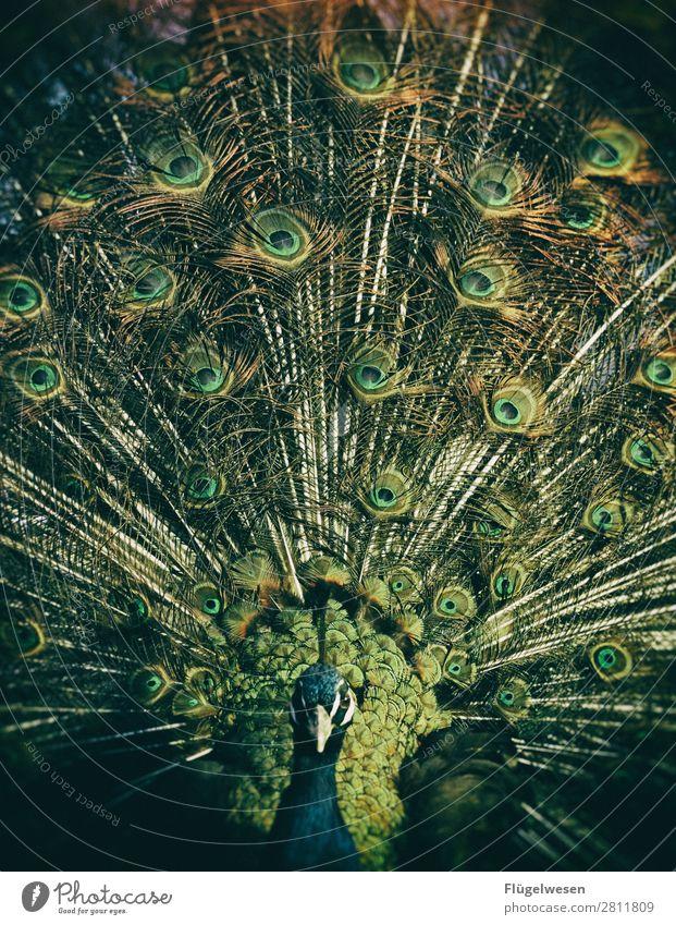 Du bist zu Pfau für diese Welt Vogel Strauß Farbe Farbstoff mehrfarbig Beleuchtung leuchten Lampe Pfauenfeder Feder Tier
