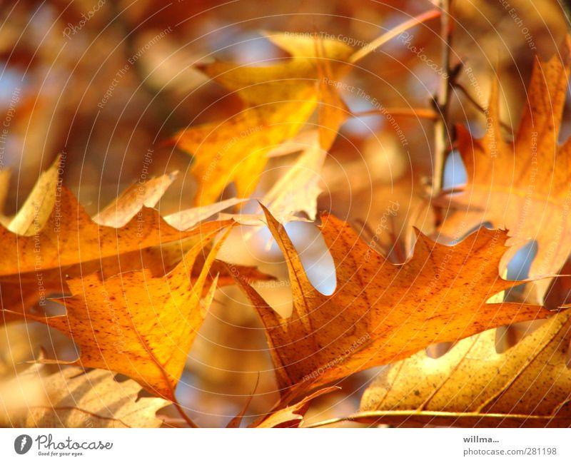 herbstlicht Natur Herbst Schönes Wetter Blatt Eiche Eichenblatt Roteiche leuchten braun gelb gold orange Herbstlaub Herbstfärbung Blätterdach Warme Farbe