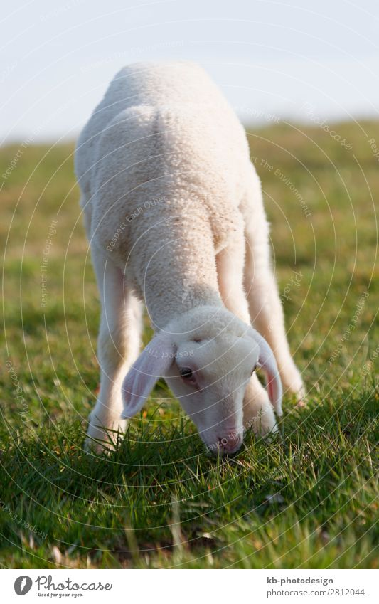 Young lamb on a meadow in springtime Natur Tier Nutztier Schaf 1 Tierjunges springen Sheep Wool Easter Easter Lamb Meadow Rasieren natural mammal Animal sun