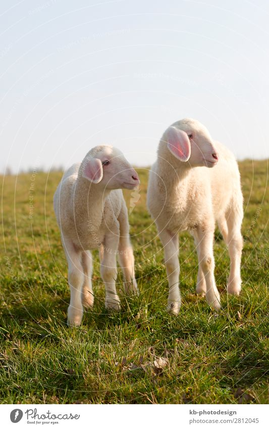 Young lamb on a meadow in springtime Natur Nutztier Schaf 2 Tier Tierjunges springen Sheep Wool Easter Easter Lamb Meadow Rasieren natural mammal Animal sun