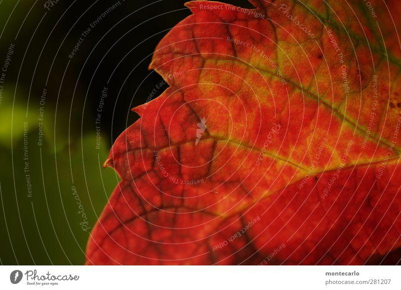 ^Zackig Natur Pflanze Sommer Blatt Grünpflanze Nutzpflanze Wildpflanze Weinblatt dünn authentisch einfach frisch nah natürlich Spitze trocken wild weich grün