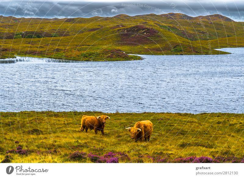 Hochlandrinder in malerischer Landschaft in Schottland Rind Bulle Bauernhof Landwirt Fell Großbritannien Heidekrautgewächse Herde Highlands
